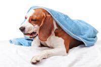 Hond braakt foam - wat te doen?