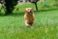 Maak hond gras in de tuin - hoe het werkt