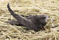 Verwijderen uit Swifts nesten - opmerkelijk