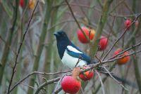 Elster beschermd - weten over bedreigde vogels