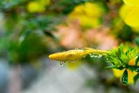 Angel's Trumpet heeft gele bladeren - wat te doen?