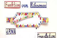 Ribosomen - de functie van de leken eenvoudig uitgelegd
