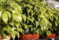 Ficus benjamina verliest veel bladeren - oorzaken en oplossingen