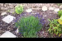 Lavendel oogst - dus het echt