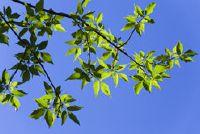 Vederesdoorn - Kenmerken van hout en haar bonte ras vormen