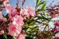 Oleander - als kamerplant cultiveren de roos laurier zo