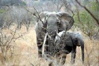 Hoe lang beer olifant?