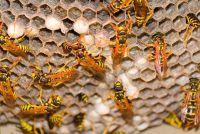 """""""Als wespen sterven?""""  - Meer over het leven en de ontwikkelingsstadia Ontdek"""