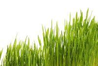 Bamboo gras - zodat u de kamerplant behouden