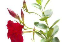 Dipladenia Sundaville Red vermenigvuldigen