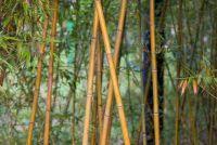 Bamboe bladeren verliezen - je kunt doen