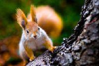 Hoe ver kan een eekhoorn springen?