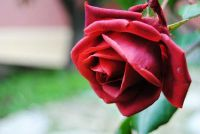 Wat is de gele roos?  - Feiten over de symboliek van bloemen