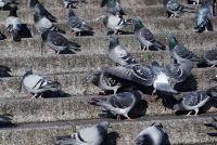 Verdeel duiven vanaf het balkon - hoe het werkt