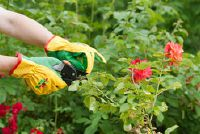 Roses: Gele bladeren - wat te doen?