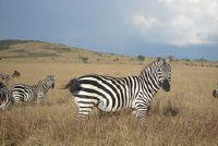 """""""Waarom kan niet zebra's rijden?""""  - Weten over wilde paarden"""
