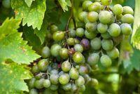 Plant wijngaarden - dus het echt