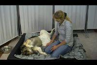 Honden koorts - zodat u het ongemak uw huisdier te verlichten