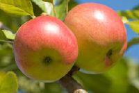 Rewena apple - Ontdek meer over de verscheidenheid