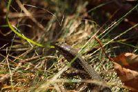 Hagedissen in de winter - dus de reptielen te passen aan de verschillende seizoenen