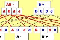 Bloedgroep AB negatief moeder - mogelijke bloedgroepen van het kind