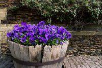 Viooltjes: Van planten of zaaien?  - Tuin Tips