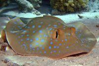 Rays - alles over de Knorpelfischart