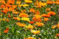 Marigold zaaien - hoe het werkt