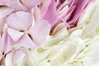 Als hortensia bloeien niet - wat te doen?