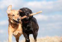 Stragami hond als huisdier - Wat u moet weten
