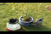 Verpotten Oleander