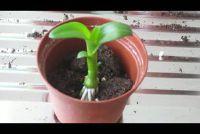Orchids uitloper planten - Instructies