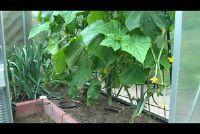 Komkommers ausgeizen - Hier is hoe