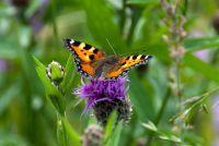 Koloniseren soorten vlinders in de tuin