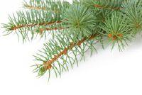 Snakeskin Kiefer - Feiten over de teelt van houtige planten naald
