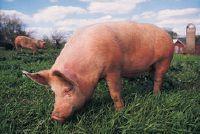 Wat om varkensvlees te eten?