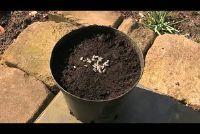 Planten en oogsten van zonnebloemen - hoe het werkt