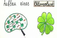 Gemakkelijk te verklaren door de chloroplast functie