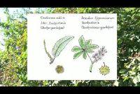 Kastanienbaum: Kenmerken van het populaire boek Gewächses