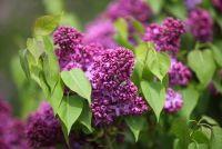 Lilac - hoe giftig het is voor mannen?