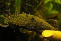 Catfish in het aquarium - zodat u ze goed te onderhouden