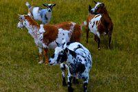 Koop mini geiten