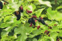 Mulberry - geschiedenis en verzorging van sier houtige planten
