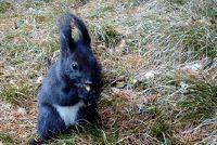 Black Squirrel - Feiten over de soort