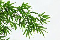 Bamboo winterklaar maken - dat u moet zich bewust zijn