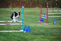 Agility - een opleiding voor honden, zodat u kunt bouwen