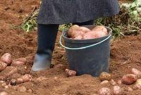 Planten en oogsten van aardappelen - dus ga je gang