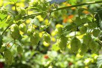 Wild hop - aanplant en verzorging