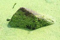 Combat algen in de vijver met natuurlijke middelen - hoe het werkt