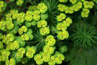 Euphorbia lathyris - dus zet de wolfsmelk familie tegen woelmuizen een gerichte